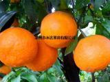 爱媛38号柑橘苗哪家质量好,爱媛38号柑橘苗找漳州永达果苗场