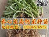 救心菜种苗 养心菜 景天三七 费菜种植 多年生种苗