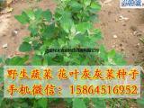 花叶灰灰菜种子 野菜种子 山野菜