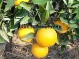 水果微商货源 甜过初恋的永兴冰糖橙一件代发_水果一件代发