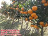 正宗茂谷柑苗种植技术 包纯度的茂谷柑苗出售
