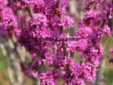 供应万山红紫荆 与 羊蹄甲 紫荆花树苗基地