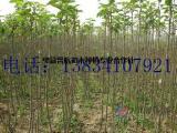 占地核桃树,10公分核桃树,10公分占地核桃树 8公分核桃树