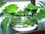 武汉袖珍椰子趣味盆景绿植盆栽,办公室懒人盆栽椰子观叶水培植物