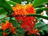 供应桂花苗的习性 四季桂花树的特征 丹桂 金桂的价值
