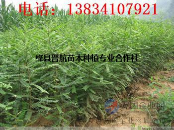 山西皂角苗0.5公分皂角苗,0.5公分皂角苗,50公分皂角苗