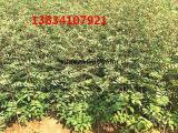 大红袍花椒苗,山西花椒苗,0.4公分花椒苗,0.5公分花椒苗