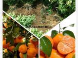 哪里出售的砂糖桔苗价格优惠 福建永达砂糖桔苗八折优惠中