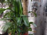 武汉大小型绿植滴水观音海芋盆栽,大叶片绿植,适合办公室摆放