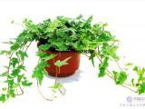 武汉大型绿植基地提供净化空气的植物橡皮树盆栽,吸甲醛的橡胶树