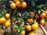 哪里有基地现挖现发的茂谷柑苗供应茂谷柑苗 茂谷柑苗哪里有出售