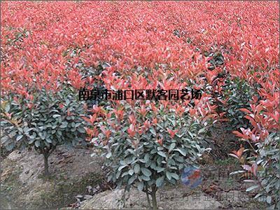 南京红叶石楠球价格/20918年红叶石楠价格【参考】