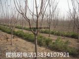 批发5公分樱桃树 5公分樱桃树 运城5公分樱桃树5公分樱桃树