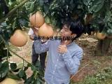 重庆哪里有三红柚子苗,重庆在哪里能买到正宗蜜柚苗