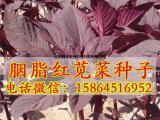 红苋菜 青苋菜种子 胭脂红苋菜 野菜种子 特菜野菜