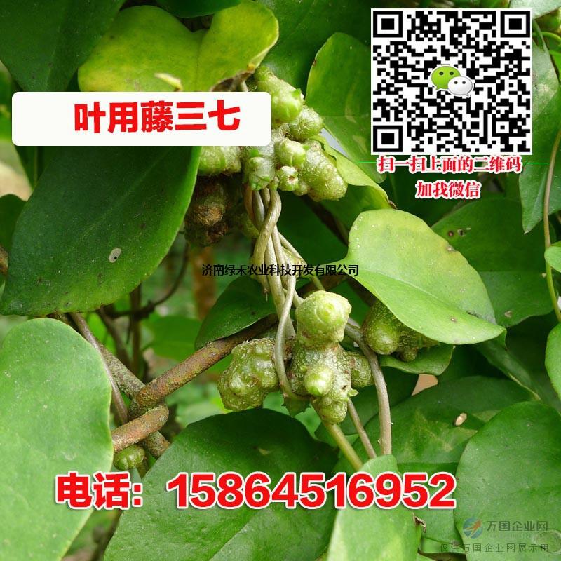 藤三七种子种块 叶用田七菜 盆栽蔬菜特菜