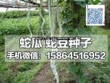 蛇瓜种子 蛇豆角种子 蛇丝瓜 特色瓜果种子