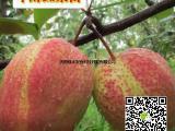 奇红早酥梨 早酥梨苗高档红梨果树苗 嫁接梨树苗当年结果