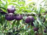 核桃苗价格/兴农苗木sell/李子苗批发
