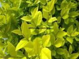 武汉大小型绿植红星红鸿运当头盆栽,开业送礼绿植红星,高端盆栽