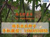 丝瓜种子 白籽长丝瓜 瓜果蔬菜种子 爬藤打架观光用种