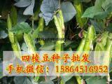 四棱豆种子批发 四角豆 扬桃豆 翼豆 瓜果蔬菜种子
