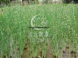 供应水葱,水生植物种苗,水葱苗,白洋淀水生植物