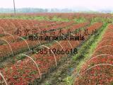 红叶石楠产地红叶石楠小苗价格