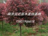 咨询4公分-5公分高杆红叶石楠树全新报价