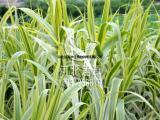 供应花叶芦竹,专业水生植物种植,白洋淀水生植物基地