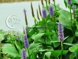 供应梭鱼草,水生植物种苗,白洋淀水生植物基地,梭鱼草种植