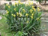 供应水生美人蕉,水生植物种苗,白洋淀水生植物基地