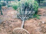 预测2018年高杆红叶石楠树价格波动