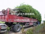 苗圃优惠价格出售一批8公分--10公分落羽杉苗木