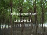 优质苗木供应商12公分重阳木实地报价