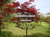 美国红枫树籽播苗报价信息表