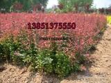 红叶小檗35公分高价格价格 红叶小檗种子价格