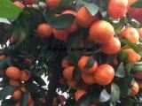 橘子砂糖橘产地直销种植基地批发销售全国招商冬季水果