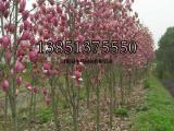 2公分紫玉兰小苗价格 紫玉兰价格