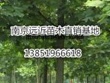 米径8公分马褂木截杆定植苗价格更新