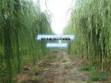 南京地区柳树批发3-5公分小垂柳价格