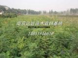 供应优质树形丛生黄连木价格