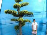 衡水德润景观 造型金叶榆/树的造型设计/大型风景树