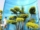 衡水德润景观 造型金叶榆/城市园林绿化树/景观造型树