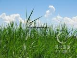 供应芦苇,芦苇苗,白洋淀水生植物基地,芦苇种植