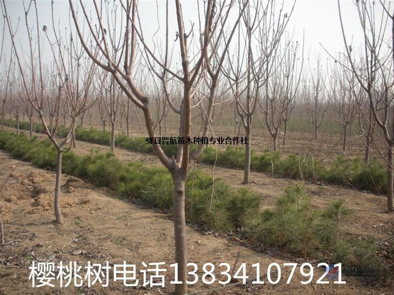 3公分樱桃树,2公分樱桃苗,3-5公分樱桃树 占地樱桃苗
