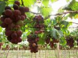 丽景温室 葡萄大棚种植 葡萄大棚建设