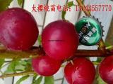 俄罗斯8号大樱桃苗 乌克兰大樱桃苗 含香大樱桃苗耐寒抗寒
