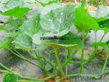 鼎牌南瓜茎叶绿健种子