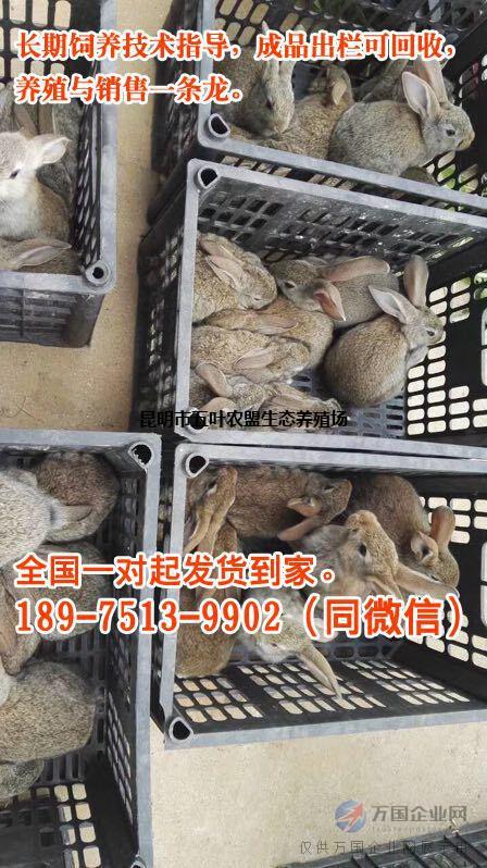 灰毛兔胎产数量出栏周期